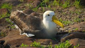 Albatross in Galapagos Islands. Albatross are large seabirds. They are highly efficient in the air, using dynamic soaring and slope soaring to cover great royalty free stock images
