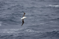 Albatross gliding Royalty Free Stock Images
