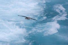 Albatross gliding Stock Images