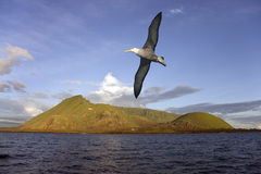 Albatross - Isabella Island - Galapagos Islands. Black-browed Albatross flying near the Ecuador Volcano on Isabella Island in the Galapagos Islands. The least stock image
