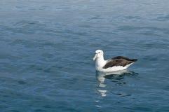 Albatross, Kaikoura, New Zealand. Black-browed Albatross resting on a calm ocean surface, Kaikoura, New Zealand stock images