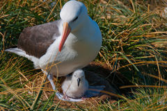Albatross Mother with Chick Stock Images