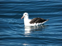 Albatross. Royalty Free Stock Images