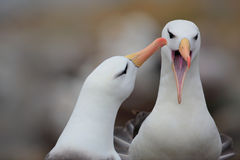 Albatross with open bill. Albatross courtship. Bird love. Pair of birds Black-browed albratros. Beautiful sea bird sitting on clif. F Stock Image