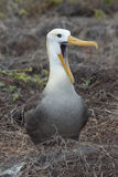 Albatross. With open billed on the ground Royalty Free Stock Image