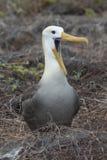 Albatross Royalty Free Stock Image