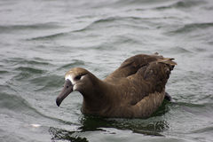 Albatross Preto-Pagado (nigripes de Diomedea) Fotografia de Stock Royalty Free