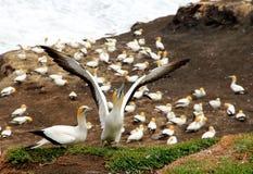 Albatross. The albatross on the shore singing dancen Royalty Free Stock Photography