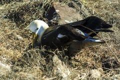 Albatross som bygga bo i de Galapagos öarna royaltyfria foton