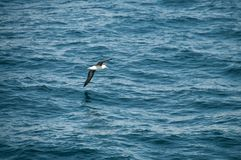 Albatross som skjuta i höjden över havet royaltyfri fotografi