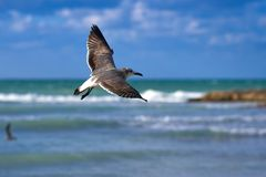 Albatross spreading its wings flies against the background of se Stock Photo