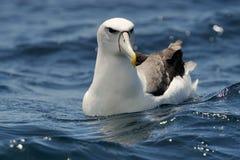 Albatross tímido fotografia de stock royalty free
