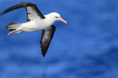 Albatross (Thalassarche melanophris impavida). Flying in NSW,Australia Stock Photography