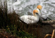Albatross. Two albatross on the shore of even-even stock photography