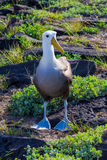 Albatross Stock Photo