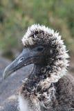 albatrossen behandla som ett barn Arkivfoto