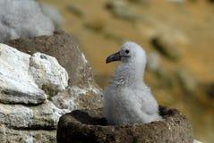 Albatrosses Black-browed Imagens de Stock