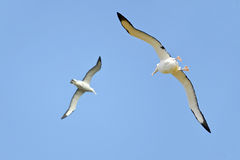 Albatrosses Royalty Free Stock Image