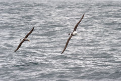 Albatrosses in flight Royalty Free Stock Image