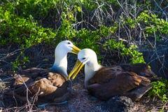Albatrossfåglar royaltyfria bilder
