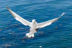 Albatroz de voo na ilha de Helgoland fotos de stock
