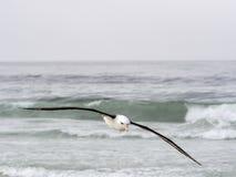 Albatroz Preto-sobrancelhudo de voo, melanophris de Thalassarche, ilha dos receptores acústicos, Falkland Islands-Malvinas Foto de Stock Royalty Free