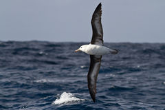 albatroz Preto-sobrancelhudo que voa sobre as ondas do Atlântico Fotografia de Stock Royalty Free