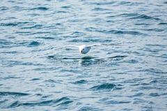 Albatroz que voa baixo sobre o mar em Islândia Imagens de Stock