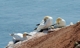 Albatrozes do norte Foto de Stock Royalty Free