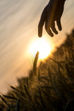 Albeggi sopra un campo di grano e di una siluetta della mano Fotografia Stock
