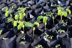Alberelli del tamarindo delle plantule nel nero della borsa, agricoltura della piantagione del fuoco selettivo del tamarindo Immagine Stock Libera da Diritti
