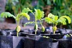 Alberelli del tamarindo delle plantule nel nero della borsa, agricoltura della piantagione del fuoco selettivo del tamarindo Immagine Stock