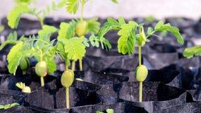 Alberelli del tamarindo delle plantule nel nero della borsa, agricoltura della piantagione del fuoco selettivo del tamarindo Fotografia Stock Libera da Diritti