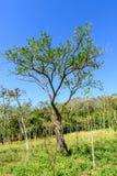 Alberelli dell'albero di mogano & del terreno boscoso immagine stock