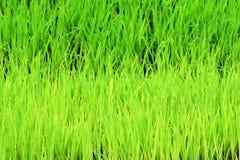 Alberelli della pianta di riso per l'agricoltura biologica Immagini Stock