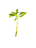 Alberello dell'albero o della plantula Fotografie Stock