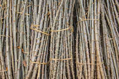 Alberello della manioca Fotografia Stock Libera da Diritti