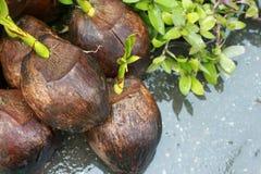 Alberello della noce di cocco sulla terra Fotografie Stock Libere da Diritti