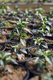 Alberello della pianta in una serra Immagine Stock Libera da Diritti