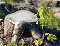 Alberello della quercia contro un ceppo del taglio Fotografia Stock