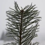 Alberello di pinetree di inverno Fotografia Stock
