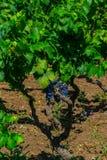 Alberello winogradu forma zdjęcie royalty free