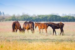 Alberese Gr, Italy, horses grazing in the Maremma Regional Par. Alberese Gr, Italy, some horses grazing in the Maremma Regional Park royalty free stock image