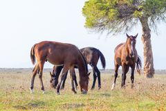 Alberese Gr, Italy, horses grazing in the Maremma Regional Par. Alberese Gr, Italy, some horses grazing in the Maremma Regional Park royalty free stock photography
