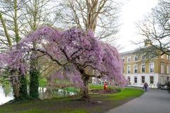 Alberi ai giardini di Kew, un giardino botanico del fiore di ciliegia nel sud-ovest Londra, Inghilterra fotografia stock