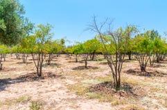 Alberi al parco di Hmad di sedere di Agdal Immagini Stock