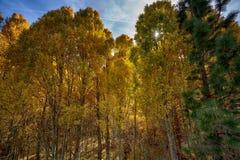 Alberi al parco nazionale di Yosemite in California fotografia stock libera da diritti