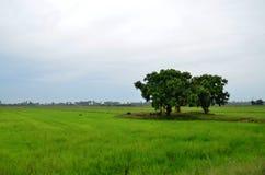 Alberi alla risaia Vista della risaia di mattina Fotografia Stock