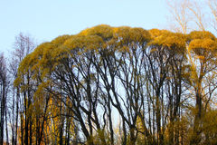 Alberi alti in autunno ed in cielo blu Fotografia Stock