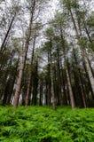 Alberi alti che aumentano dalla felce aquilina, raggiungente verso un chiaro cielo fotografia stock